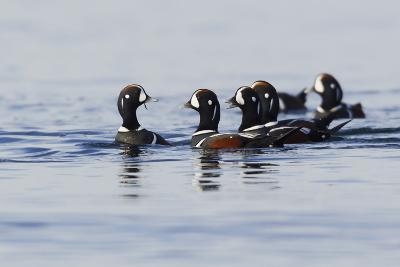 Harlequin Ducks-Ken Archer-Photographic Print