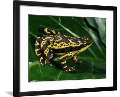 Harlequin Frog, Amazonia, Ecuador-Pete Oxford-Framed Photographic Print