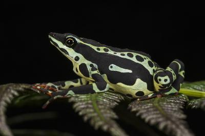 Harlequin Frog, Ecuador-Pete Oxford-Photographic Print