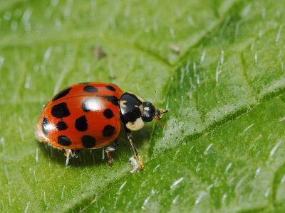 https://imgc.artprintimages.com/img/print/harlequin-ladybird-on-alkanet-leaf-london-uk_u-l-q10qw1s0.jpg?p=0