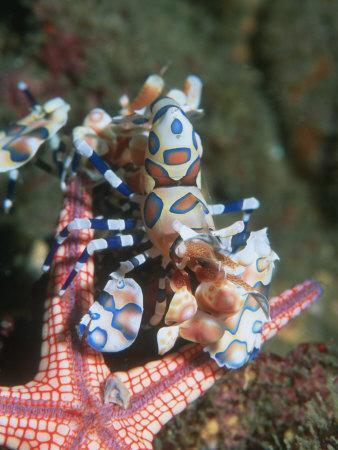 https://imgc.artprintimages.com/img/print/harlequin-shrimp-starfish-prey-upside-down-to-prevent-it-from-escaping-andaman-sea-thailand_u-l-q10o0qg0.jpg?p=0