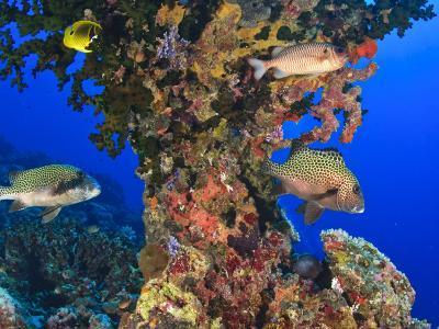 Harlequin Sweetlips, Butterflyfish and Glasseye, Palau, Micronesia-Stuart Westmorland-Photographic Print
