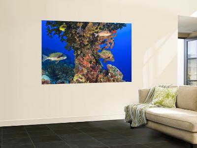 Harlequin Sweetlips, Butterflyfish and Glasseye, Palau, Micronesia-Stuart Westmorland-Giant Art Print