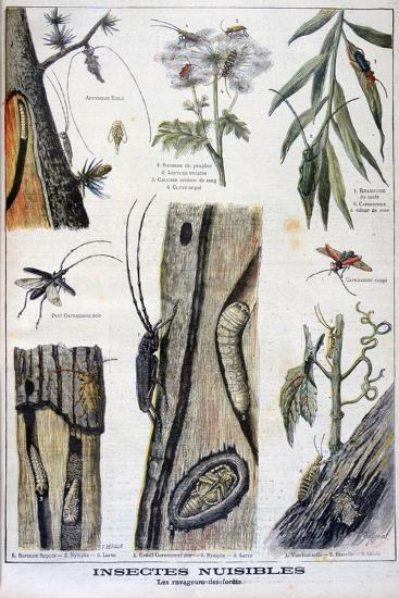 Harmful Insects That are Destructive to Forests, 1897-A Clement-Giclee Print