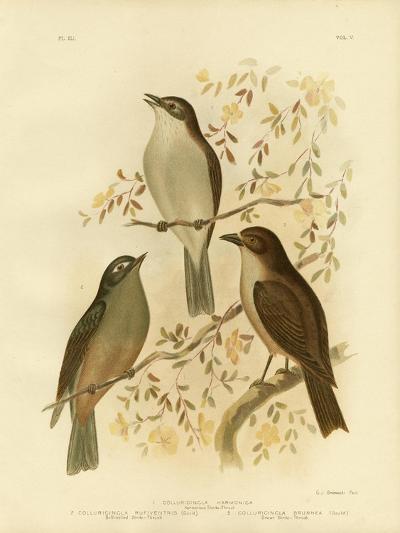 Harmonious Shrike-Thrush or Grey Shrike-Thrush, 1891-Gracius Broinowski-Giclee Print
