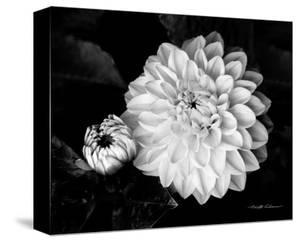 Flowers black and white photography artwork for sale posters and chrysanthemum mightylinksfo