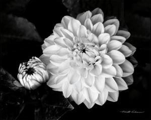 Beautiful flowers black and white photography artwork for sale chrysanthemum mightylinksfo