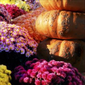 Pumpkins and Mums Pumpkin by Harold Silverman