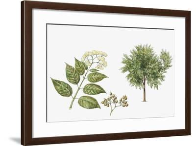 Haronga (Harungana Madagascariensis) Plant with Flower, Leaf and Fruit--Framed Giclee Print