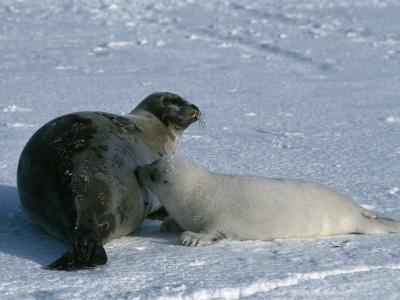 Harp Seal Mother Nurses Pup-Jeff Foott-Photographic Print