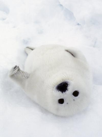 Harp Seal, Pup in Favorite Position on Its Back on Ice Pack, Nova Scotia, Canada-Daniel J. Cox-Photographic Print