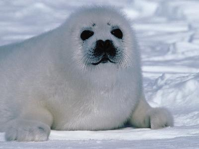 Harp Seal Pup Lays in Snow-Jeff Foott-Photographic Print