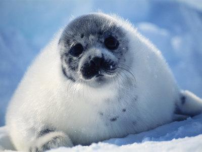 Harp Seal Pup on Ice at Start of Moult, Magdalen Is, Canada, Atlantic-Jurgen Freund-Photographic Print