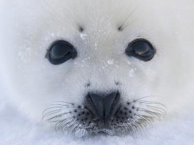 Harp Seal Pup on Ice, Iles De La Madeleine, Quebec, Canada-Keren Su-Photographic Print