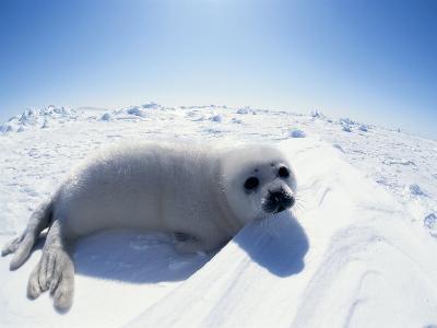Harp Seal Pup on Ice, Magdalen Is, Canada, Atlantic-Jurgen Freund-Photographic Print