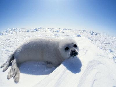 Harp Seal Pup on Ice, Magdalen Is, Canada, Atlantic-Jurgen Freund-Photographic Print
