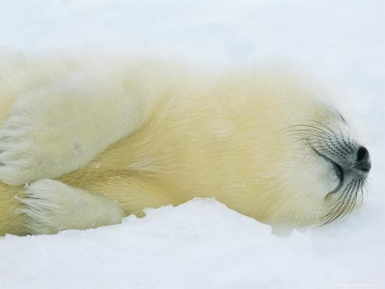 Harp Seal Pup Sleeps in the Snow-Norbert Rosing-Photographic Print