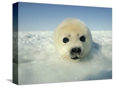Harp Seal Pup-Bill Curtsinger-Stretched Canvas Print