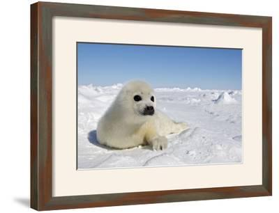 Harp Seal Pup--Framed Photographic Print