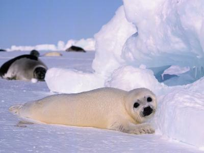 Harp Seal Pup-Jeff Foott-Photographic Print
