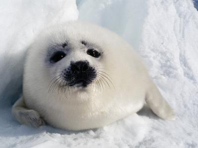 Harp Seal Pup-Jeff Foott-Photographic Print