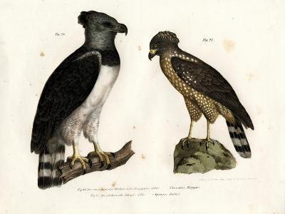 Harpy Eagle, 1864--Giclee Print