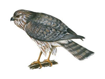 https://imgc.artprintimages.com/img/print/harrier-circus-cyaneus-marsh-hawk-birds_u-l-q135lh70.jpg?p=0
