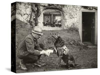 A WWI allied soldier bandages the paw of a Red Cross working dog.