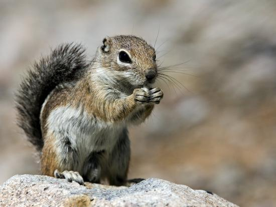 Harris Antelope Squirrel Feeding on Seed. Organ Pipe Cactus National Monument, Arizona, USA-Philippe Clement-Photographic Print