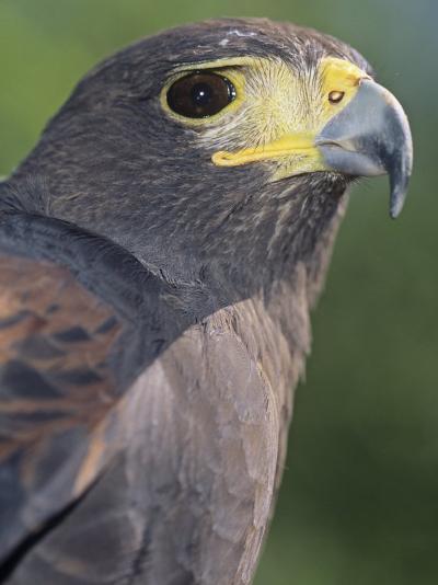 Harris Hawk Head, Parabuteo Unicinctus, Southwestern North America-Joe McDonald-Photographic Print