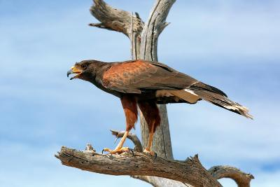 Harris Hawk, Parabuteo Unicinctus-Susan Degginger-Photographic Print