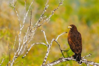 Harris Hawk Perched On Dead Tree Branch On South Texas Ranch-Jay Goodrich-Photographic Print