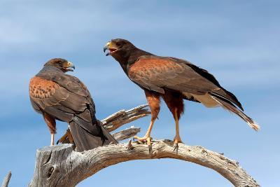Harris Hawks, Parabuteo Unicinctus-Susan Degginger-Photographic Print