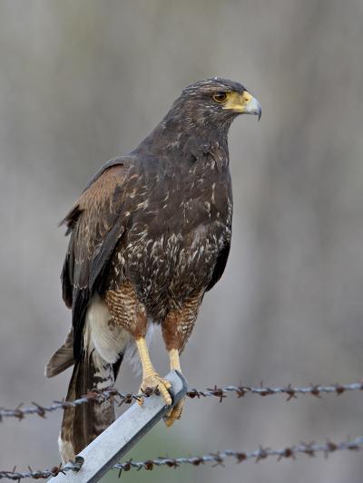 Harris's Hawk (Parabuteo Unicinctus), Sweetwater Wetlands, Tucson, Arizona-James Hager-Photographic Print