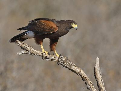 Harris's Hawk, Texas, USA-Larry Ditto-Photographic Print