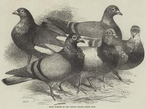 Prize Winners in the Crystal Palace Pigeon Race by Harrison William Weir