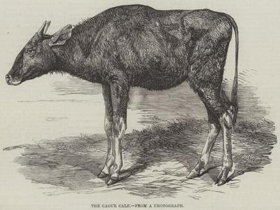 The Gaour Calf