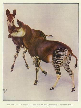 The Okapi (Ocapia Johnstoni), the New Animal Discovered in Central Africa