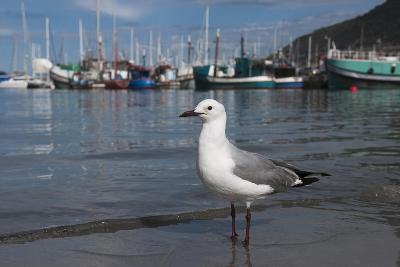 Hartlaubs Gull, Hout Bay Harbor, Western Cape, South Africa-Pete Oxford-Photographic Print