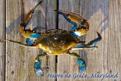 https://imgc.artprintimages.com/img/print/harve-de-grace-maryland-blue-crab-on-dock_u-l-q1gq4v70.jpg?p=0