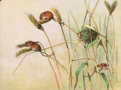 Harvest Mice, Illustration from 'Pads, Paws and Claws' by P. Pycraft, 1924--Giclee Print