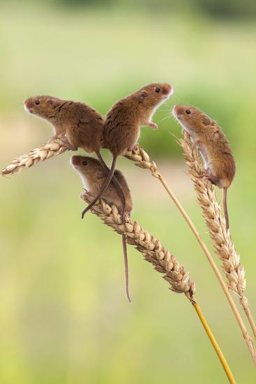 Harvest Mice (Micromys Minutus), Captive, UK, June-Ann & Steve Toon-Photographic Print
