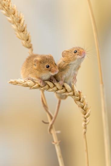 Harvest Mice (Micromys Minutus) On Wheat Stems, Devon, UK-Ross Hoddinott-Photographic Print