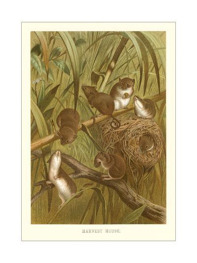 Harvest Mice--Art Print