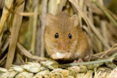 Harvest Mouse Eating Wheat Seed--Photographic Print