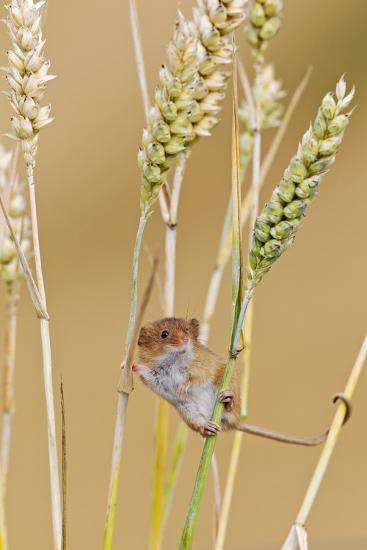 Harvest Mouse in Wheat--Photographic Print