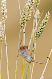 Harvest Mouse in Wheat