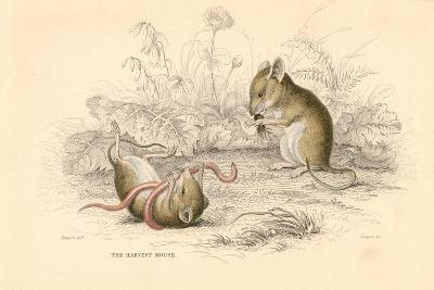 Harvest Mouse (Micromys Minutu) of the Old World, 1828--Giclee Print