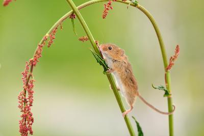 Harvest Mouse (Micromys Minutus) On Stalk, West Country Wildlife Photography Centre, Captive, June-David Pike-Photographic Print