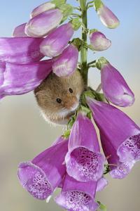 Harvest Mouse on Foxglove
